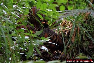 Chestnut-bellied Partridge