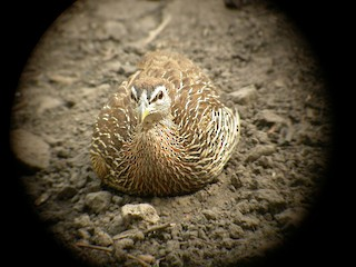Double-spurred Francolin, ML206214991