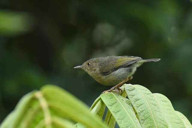 Olive-green Camaroptera