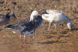 Snow Goose, ML206348971