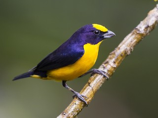 - Thick-billed Euphonia