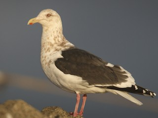 - Slaty-backed Gull