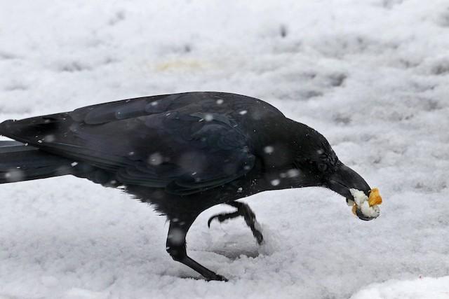 Large-billed Crow (Large-billed)