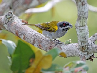- Yellow-shouldered Grosbeak