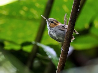 - Tawny-faced Gnatwren