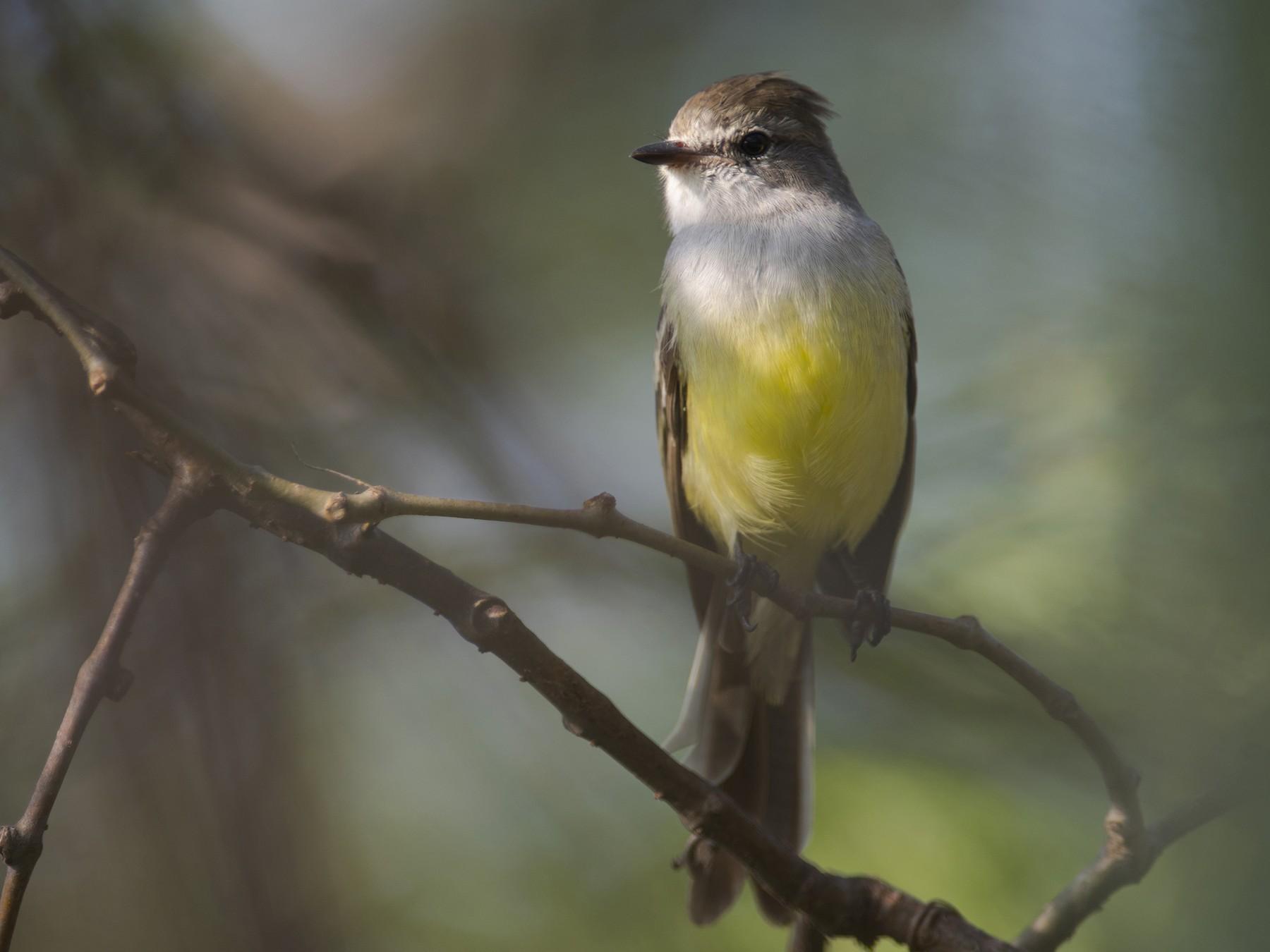 Northern Scrub-Flycatcher - John Cahill xikanel.com