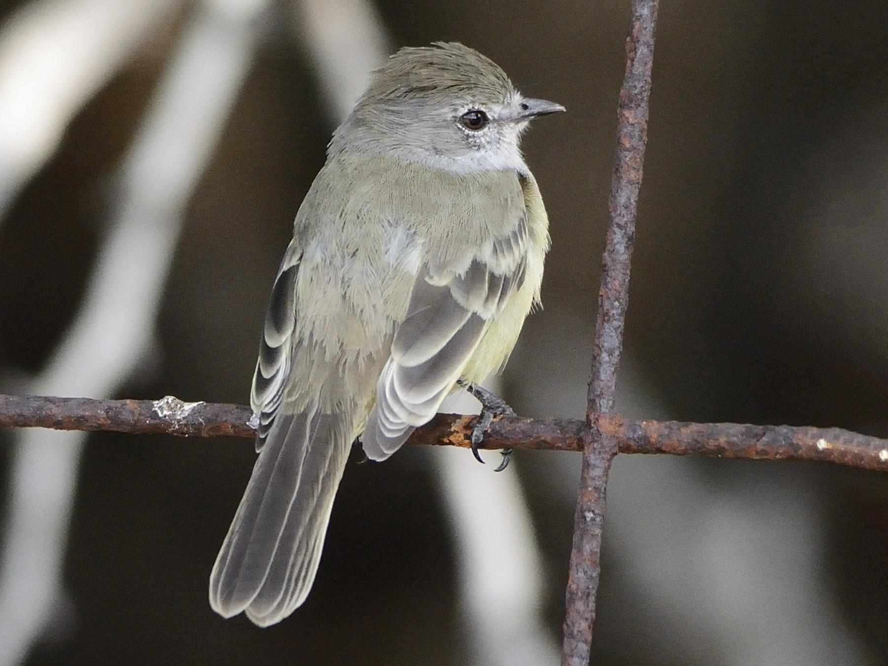 Northern Scrub-Flycatcher - Michael Tromp