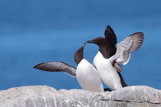 Two birds performing courtship display.