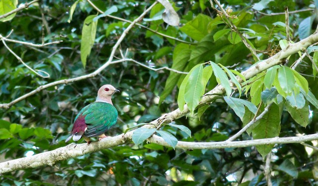 Purple-tailed Imperial-Pigeon