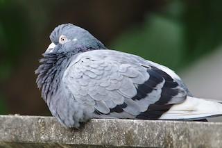 Rock Pigeon (Feral Pigeon), ML206756871