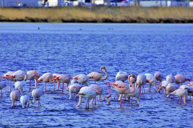 ©Burak AYKIN - Greater Flamingo
