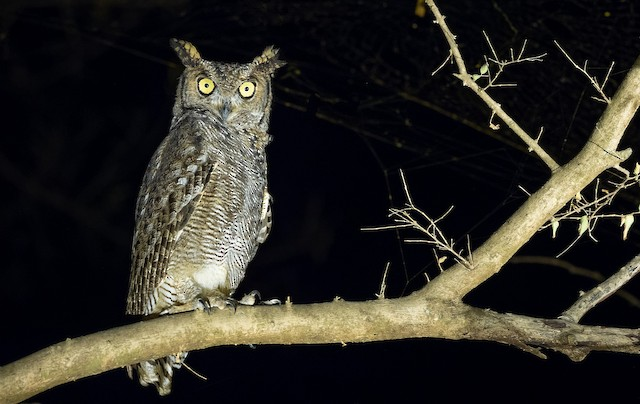 Arabian Eagle-Owl