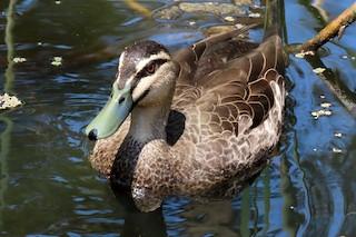 Pacific Black Duck, ML207045721