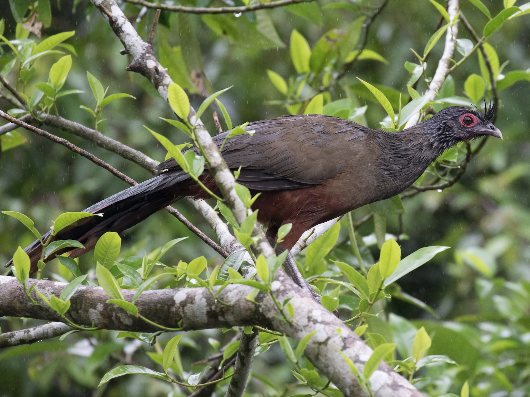 Rufous-bellied Chachalaca - Simon Best