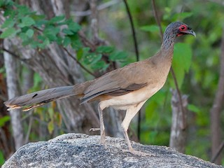 - West Mexican Chachalaca
