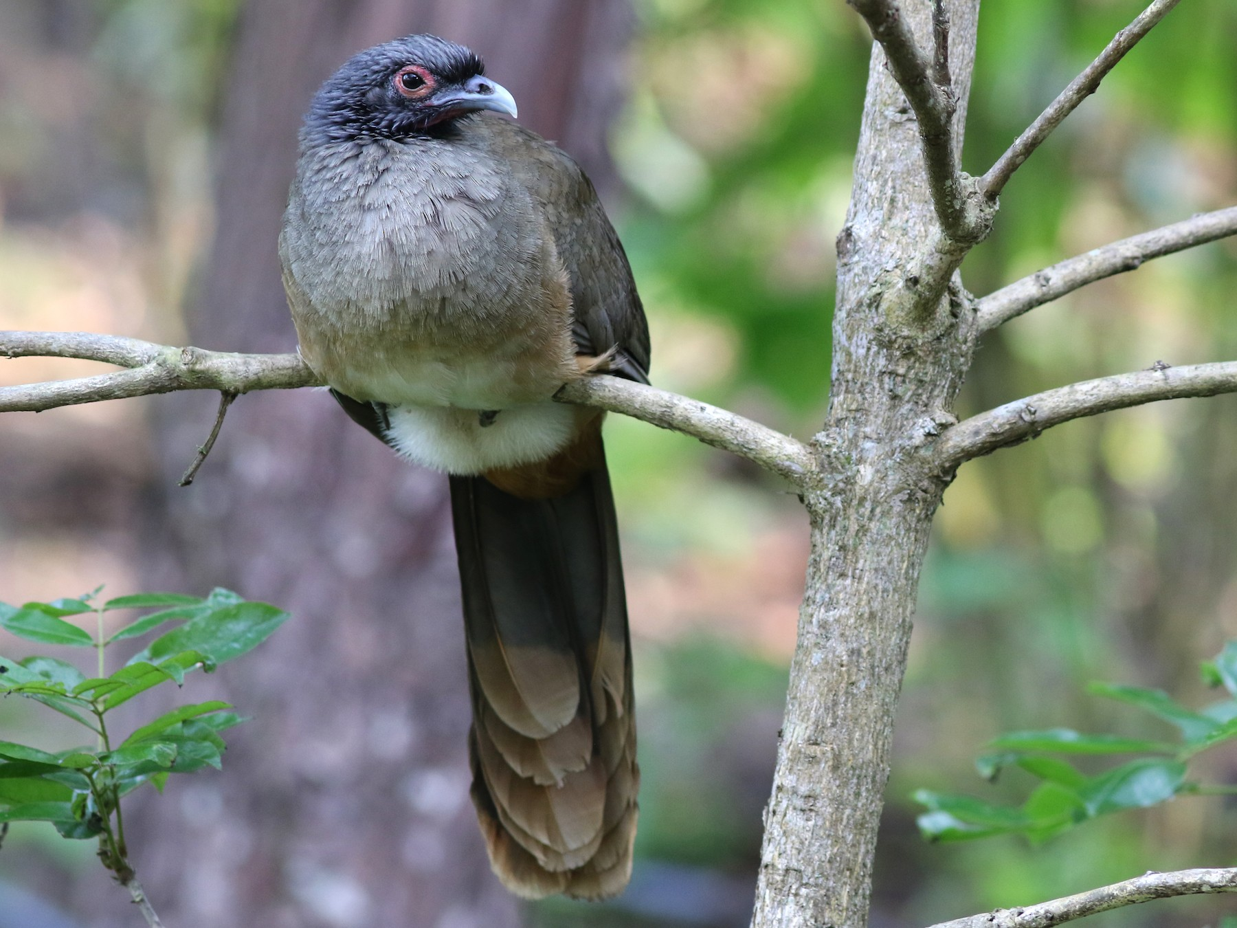 West Mexican Chachalaca - Mark Patry