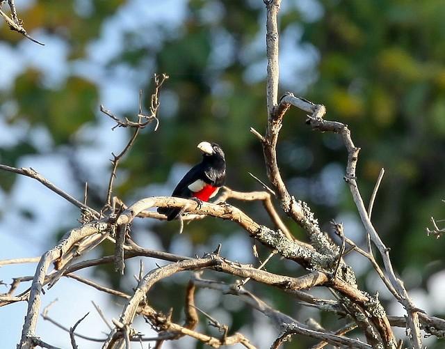 Black-breasted Barbet