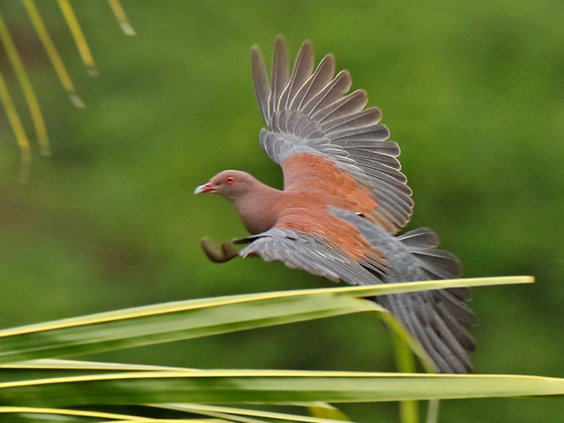 Peruvian Pigeon - Roger Ahlman