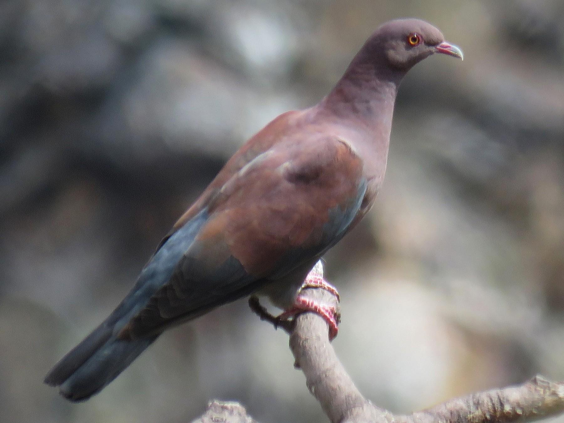 Peruvian Pigeon - Michel Turcot