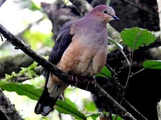 - Ochre-bellied Dove
