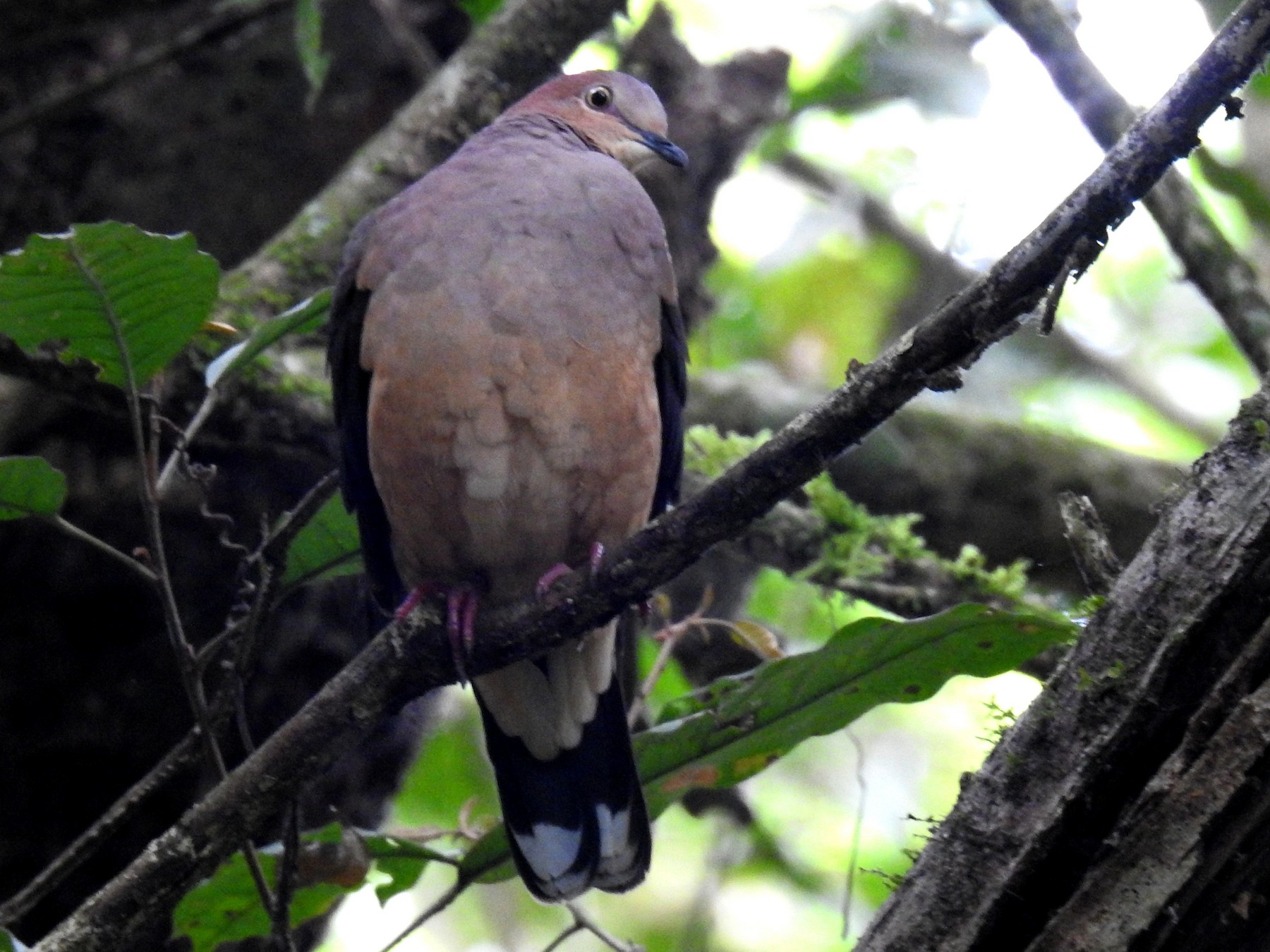 Ochre-bellied Dove - Fernando Angulo - CORBIDI