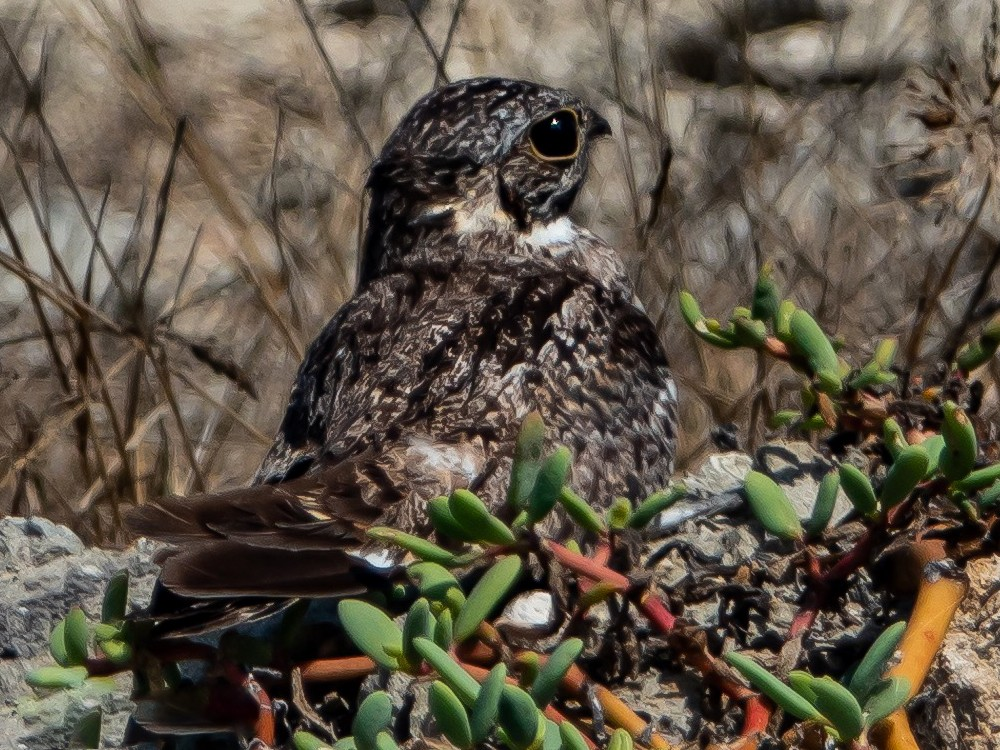 Scrub Nightjar - Randy Vickers