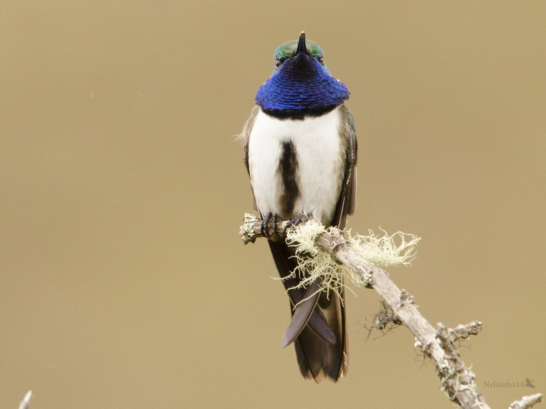 Blue-throated Hillstar - Nelson Gustavo Monteros