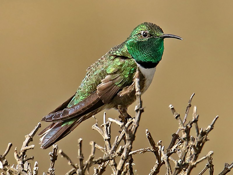 Green-headed Hillstar - Roger Ahlman