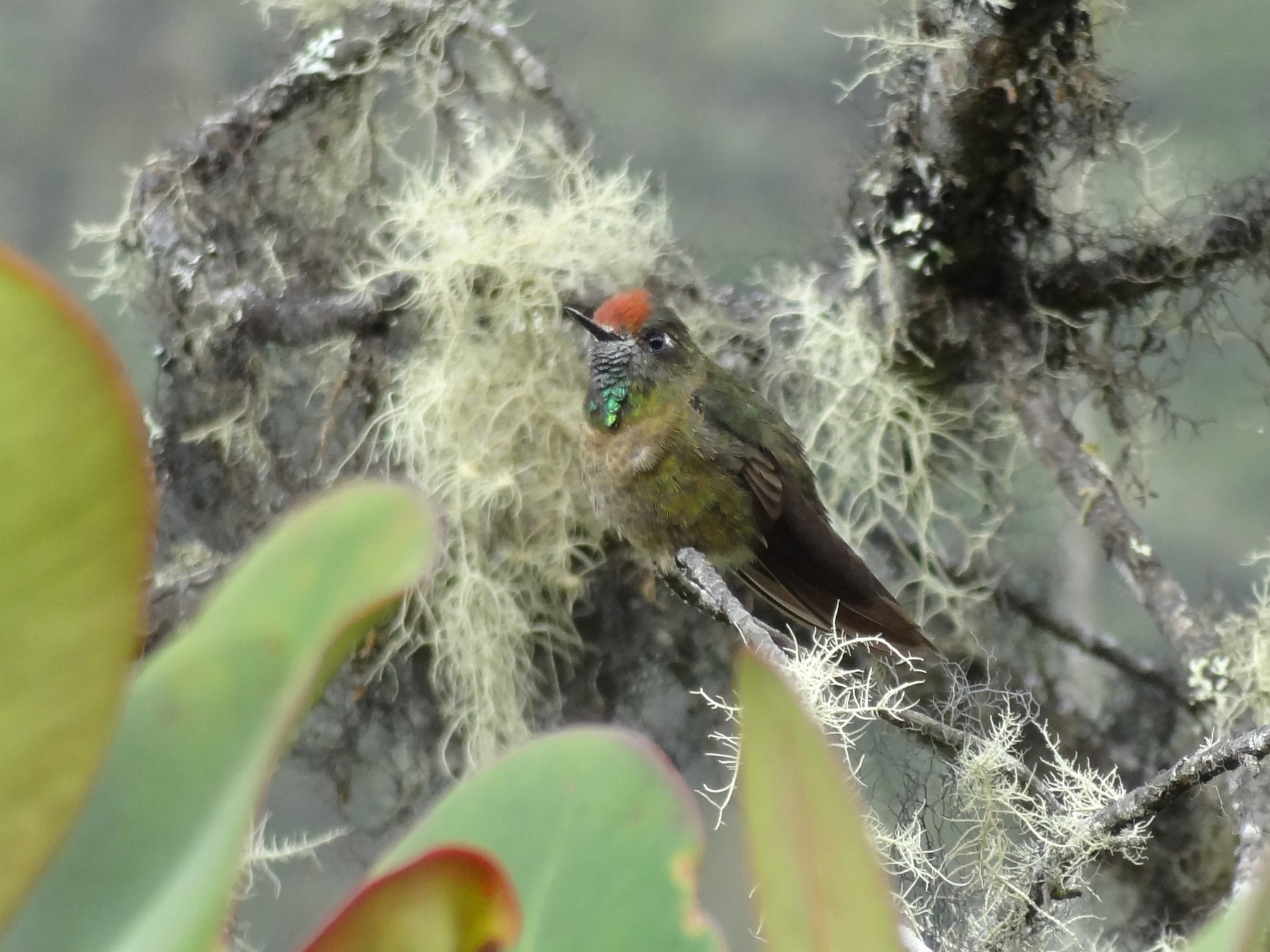Rufous-capped Thornbill - Timothy Forrester