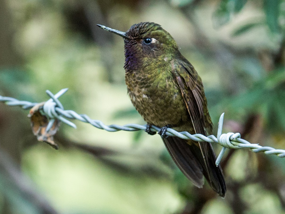 Violet-throated Metaltail - Nick Athanas