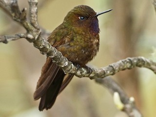 - Violet-throated Metaltail