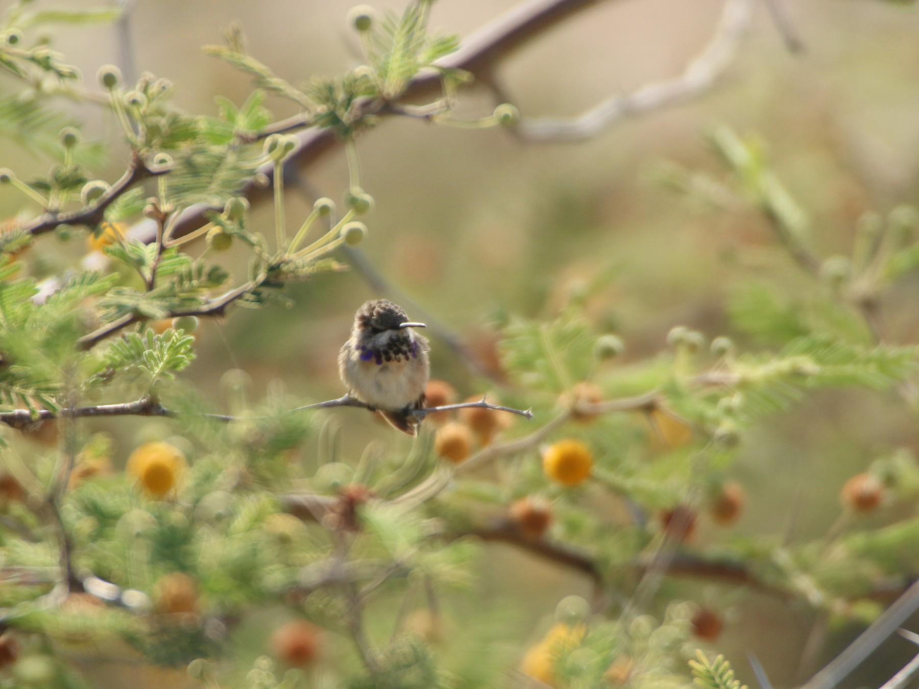 Short-tailed Woodstar - Jose Luis Lescano Perez Pacheco