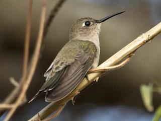 - Tumbes Hummingbird