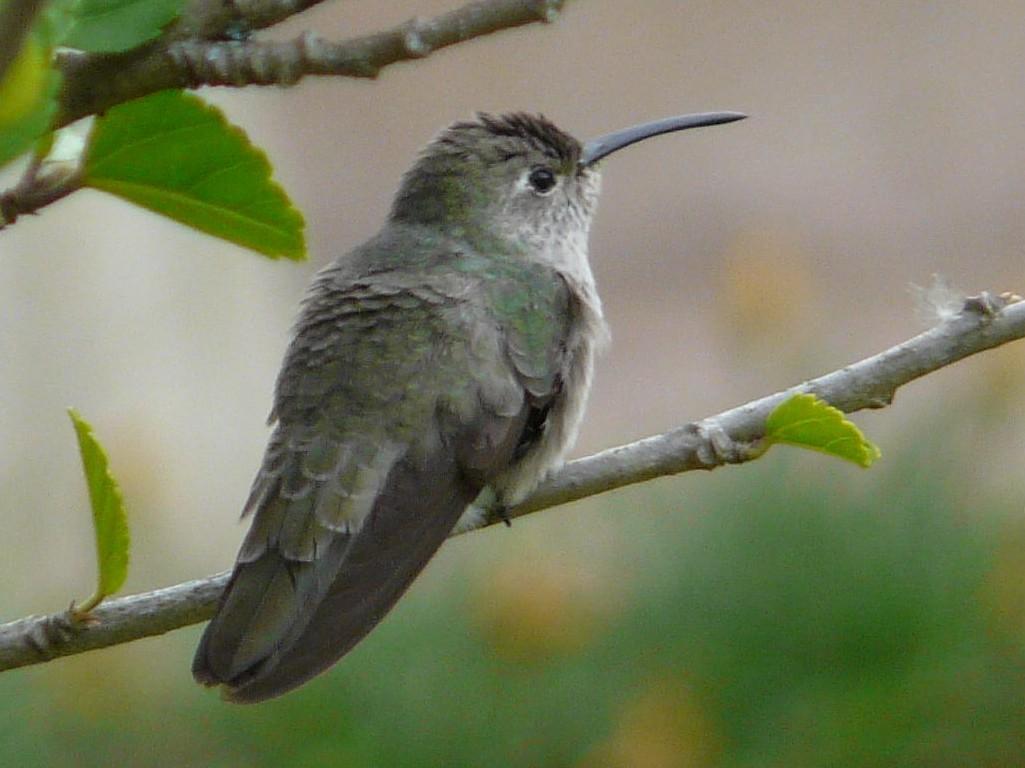 Spot-throated Hummingbird - Paul Suchanek