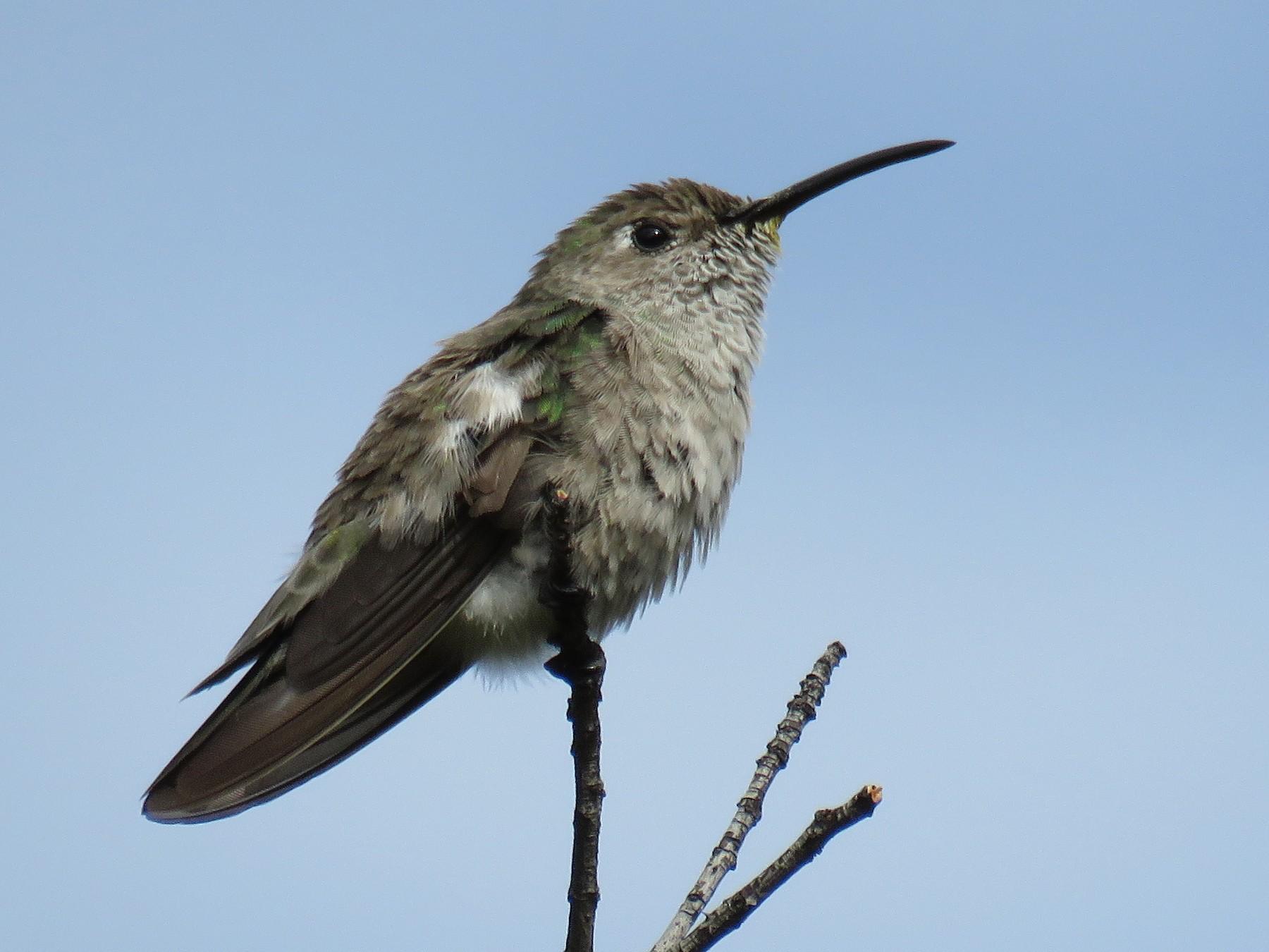 Spot-throated Hummingbird - Manuel Roncal-Rabanal