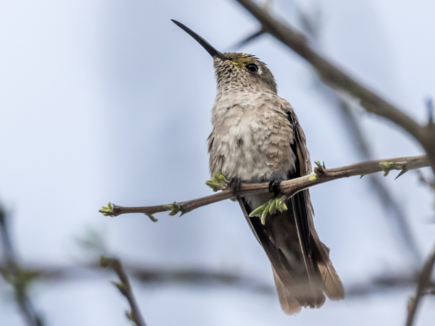 Spot-throated Hummingbird - Jesse Huth