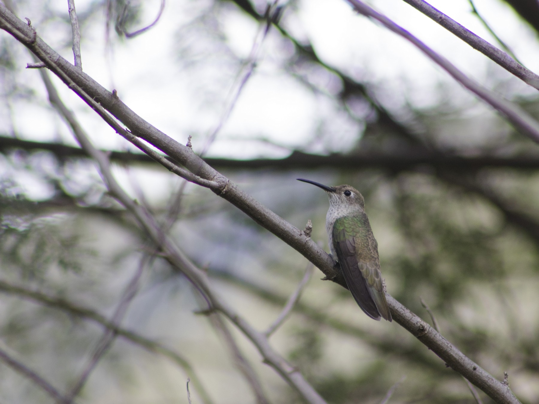 Spot-throated Hummingbird - Wilmer Lozano medina