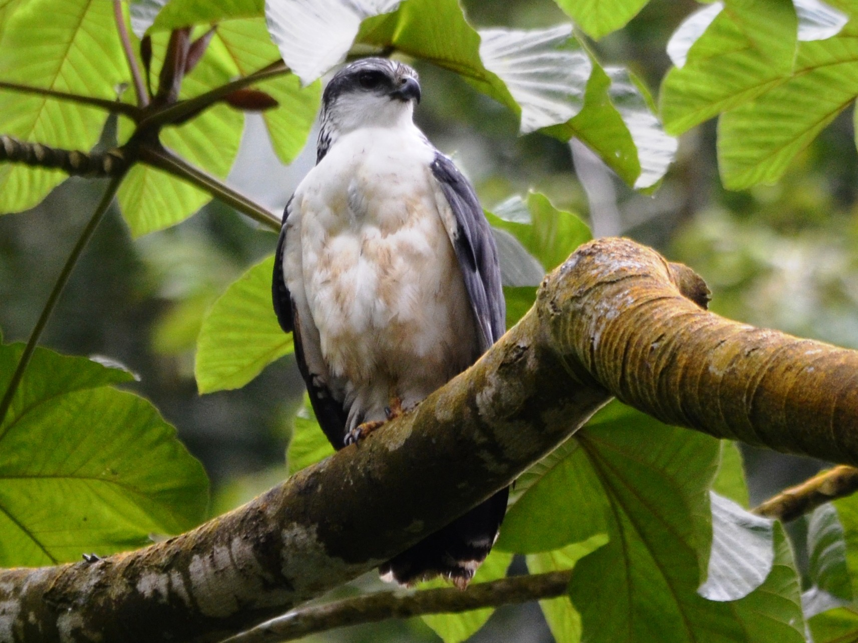 Gray-backed Hawk - javier lopez