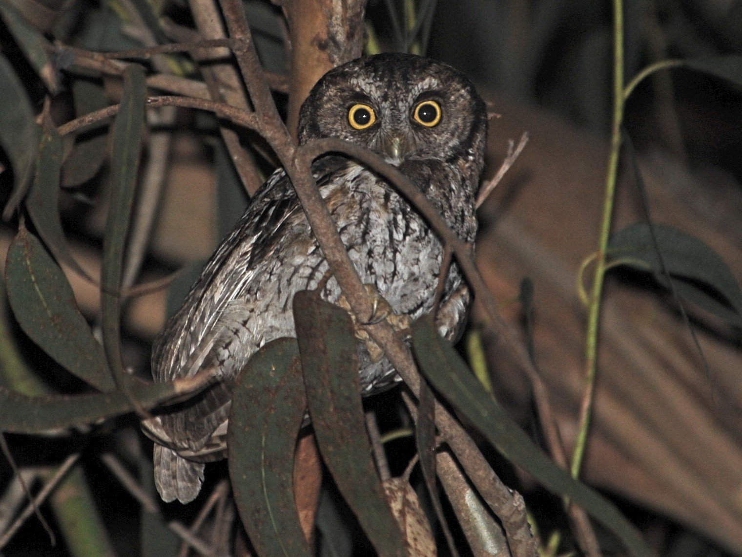 Koepcke's Screech-Owl - Alan Van Norman
