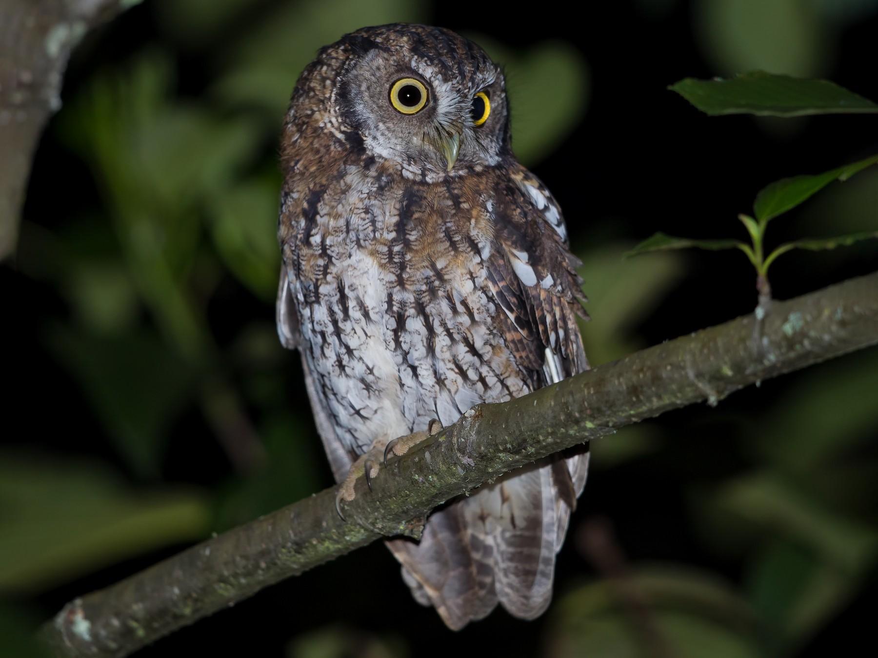 Koepcke's Screech-Owl - Peter Hawrylyshyn