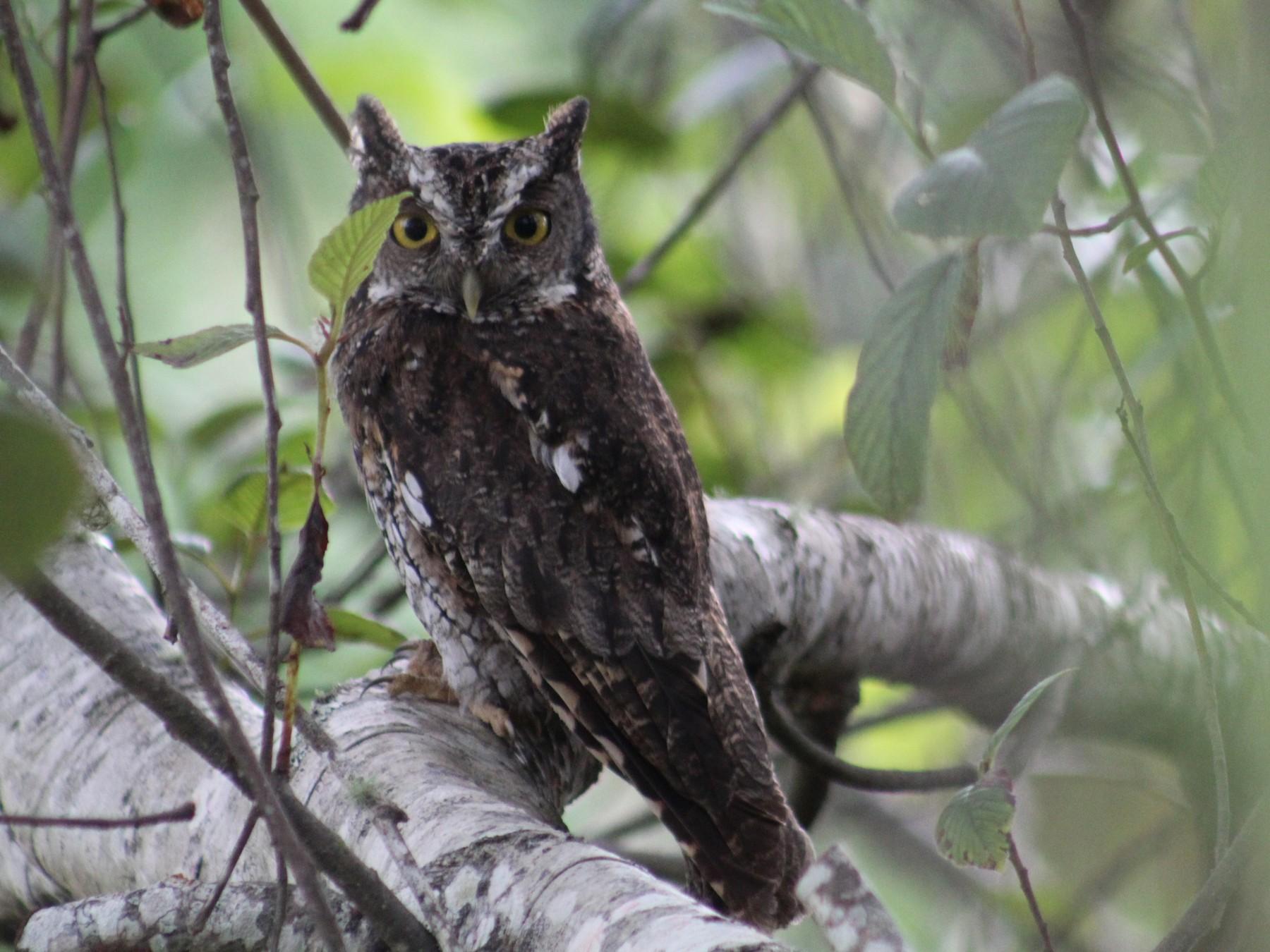 Koepcke's Screech-Owl - Jhonatan Vera chávez