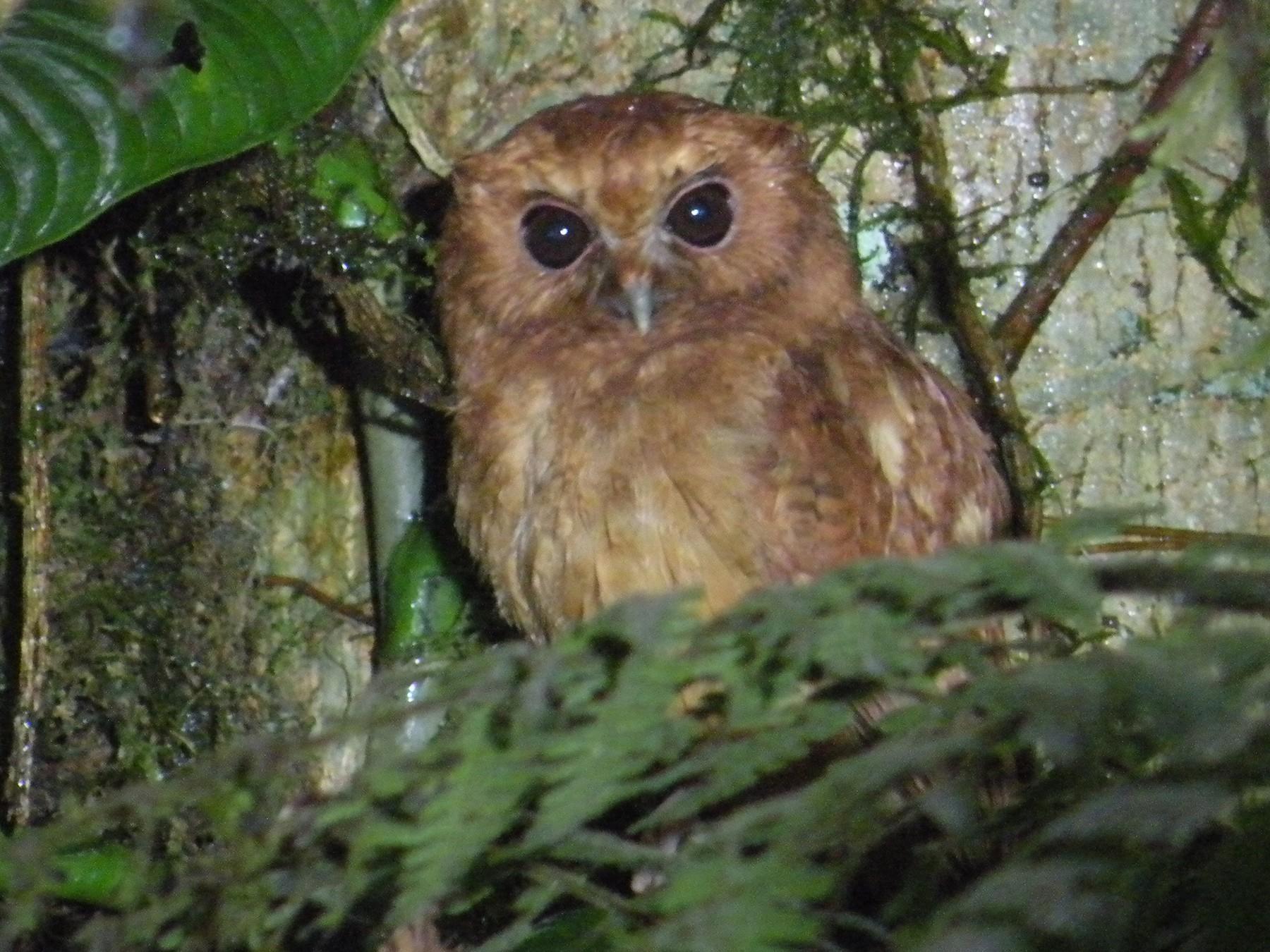 Cinnamon Screech-Owl - Phred Benham