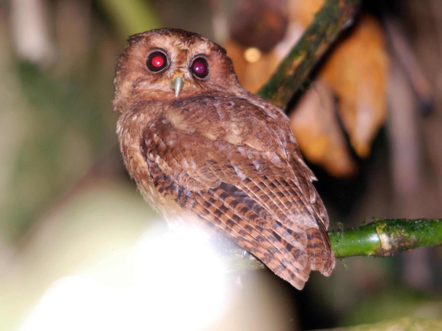 Cinnamon Screech-Owl - Daniel Lebbin