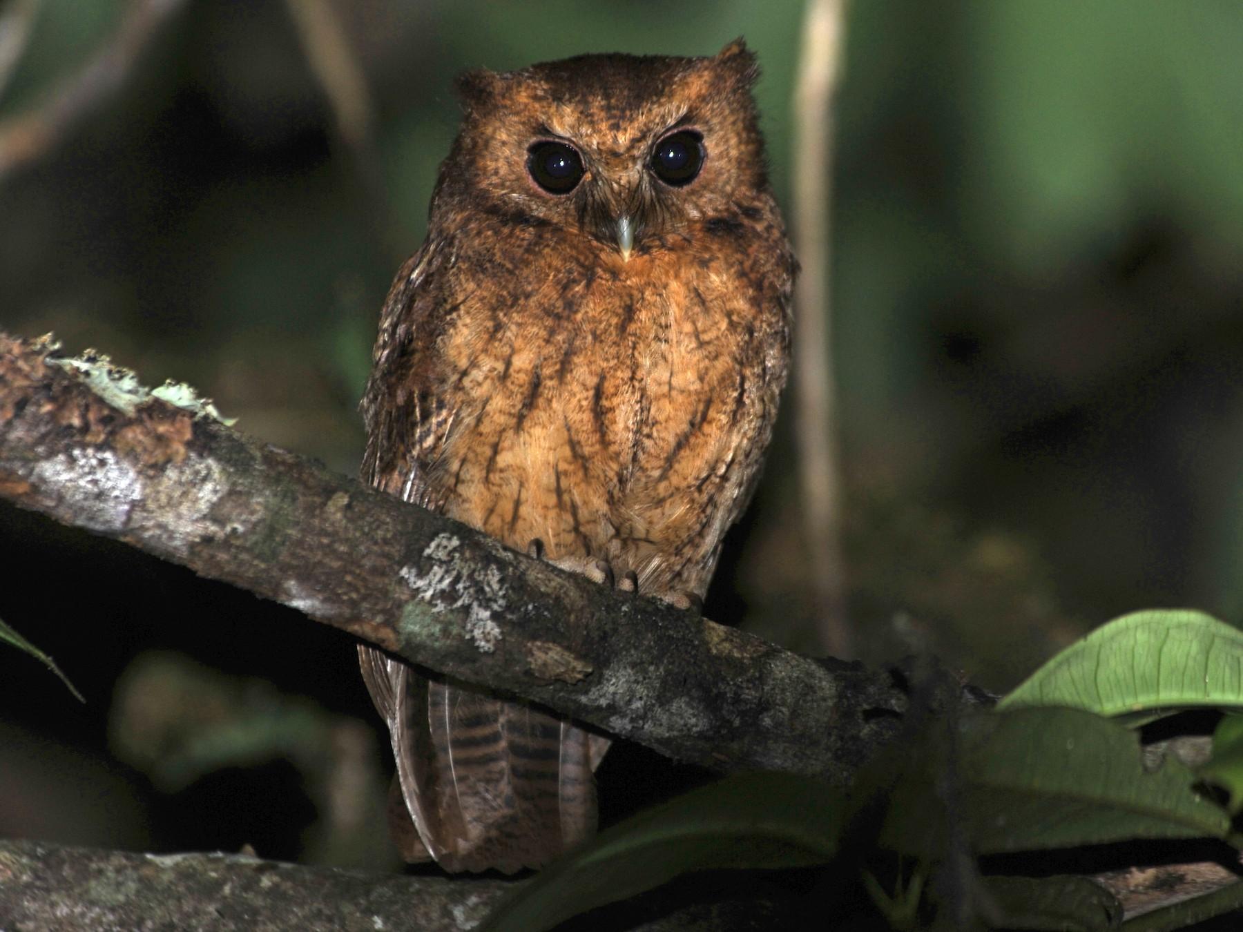 Cinnamon Screech-Owl - Alan Van Norman