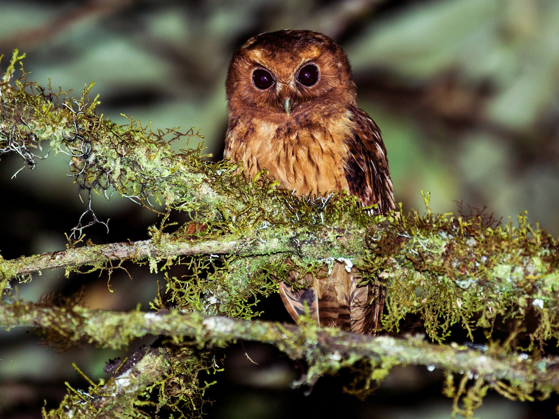 Cinnamon Screech-Owl - Nick Athanas