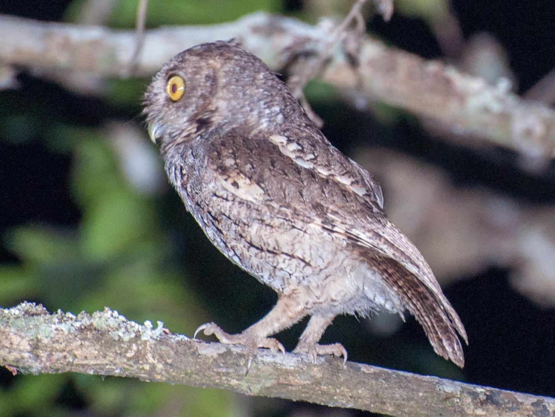 Peruvian Screech-Owl - Nic Allen