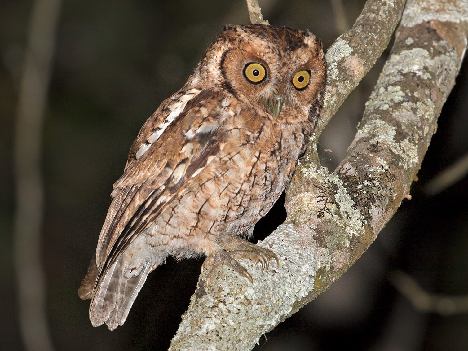 Peruvian Screech-Owl - Sam Woods