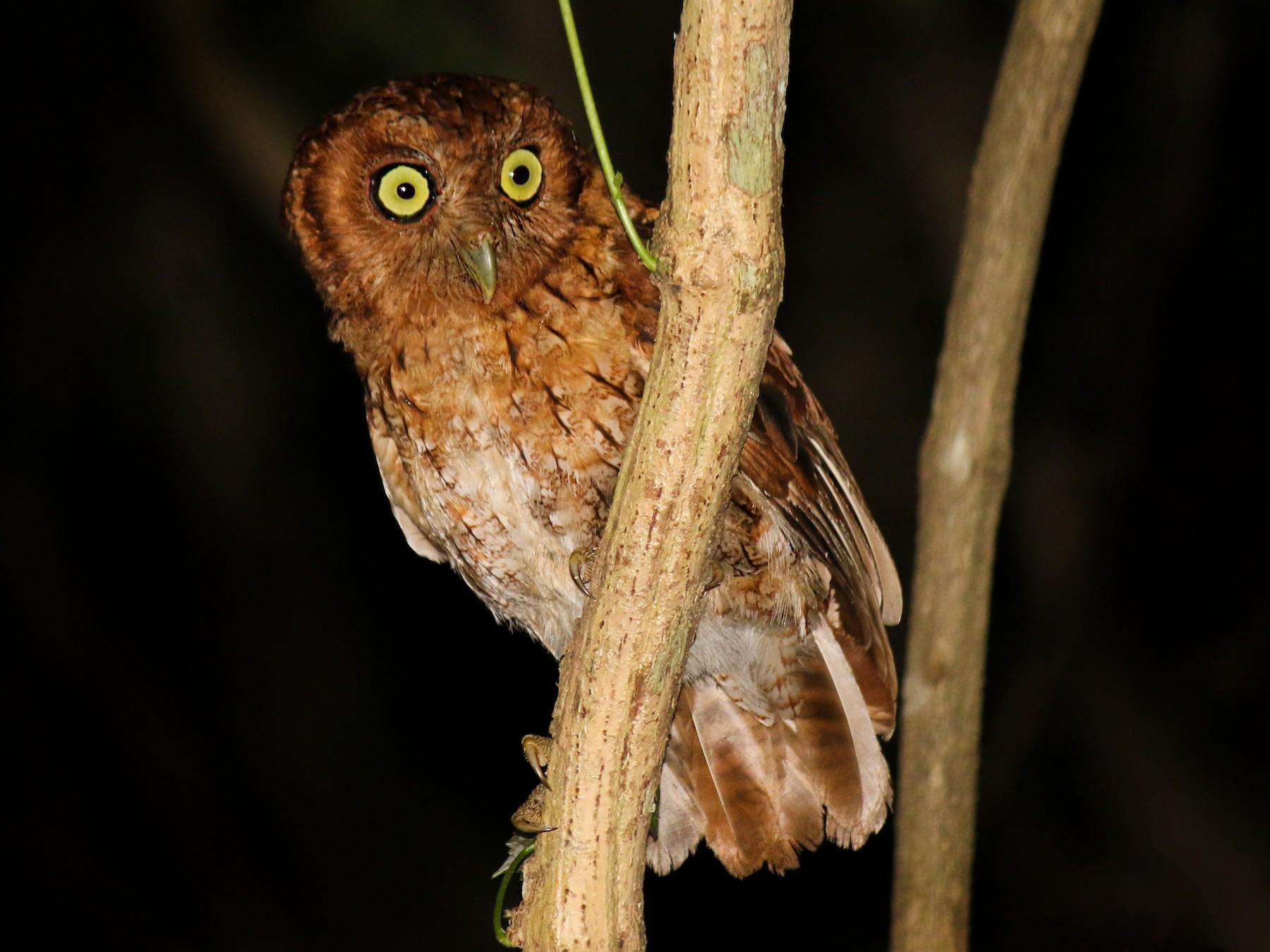 Peruvian Screech-Owl - Eduardo Zavala B.