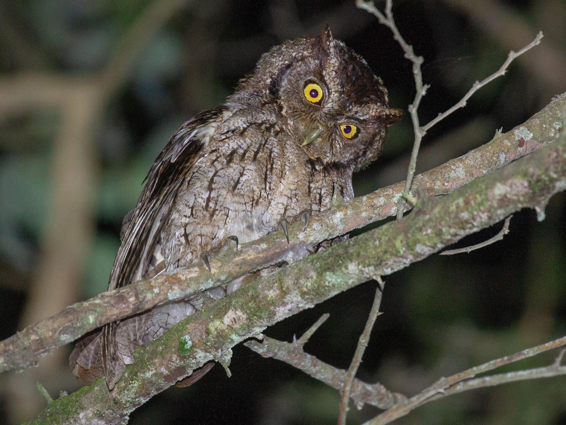 Peruvian Screech-Owl - Will Chatfield-Taylor