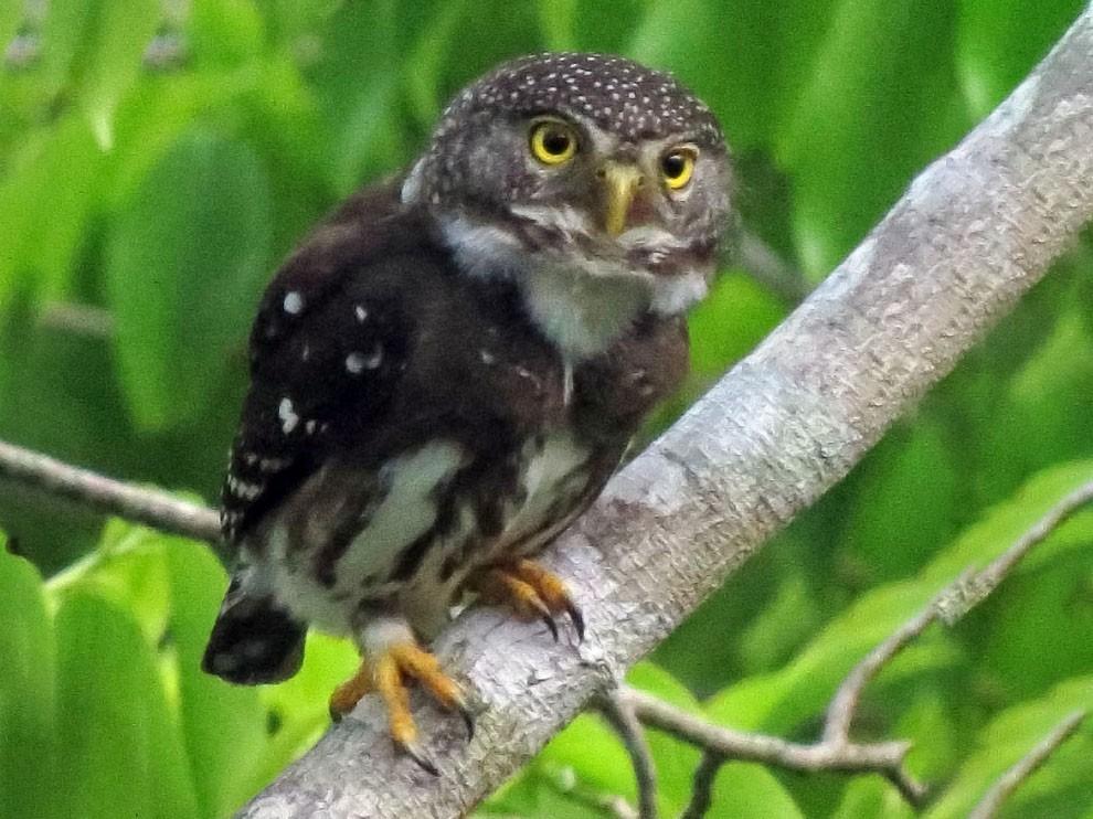 Subtropical Pygmy-Owl - Rich Hoyer